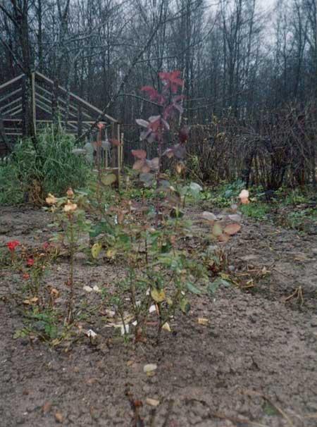 Розы не перестают цвести, даже в ноябре