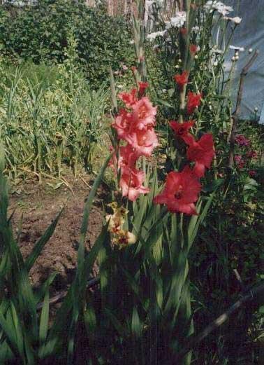 Гладиолусы на страже огорода