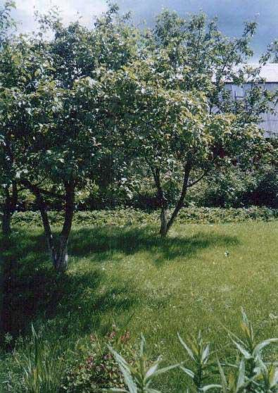 Изумрудный газончик