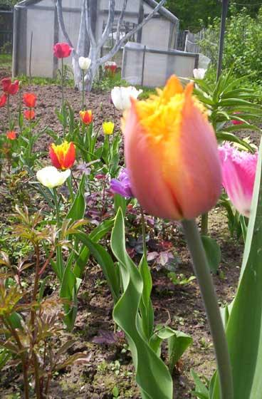 Тюльпаны - такие разные!