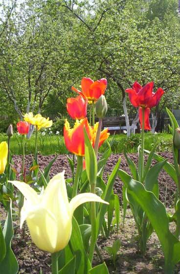 Тюльпаны - яркие краски Весны