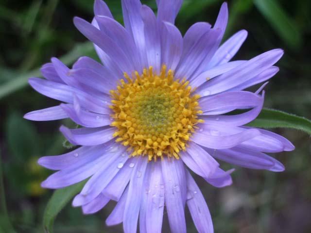 Многолетняя астра, цветущая в июне