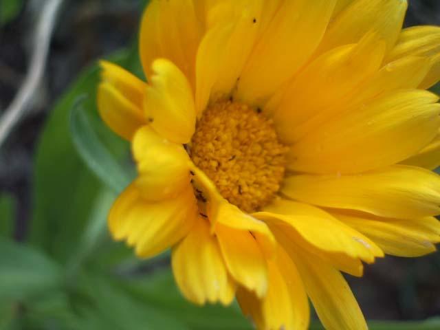 Солнечный цветочек календулы