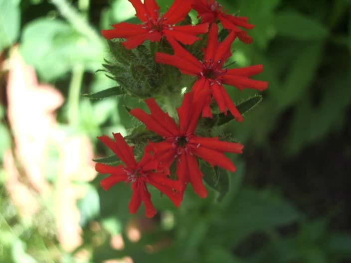 Лихнис в нашем саду цветет весьма скромно