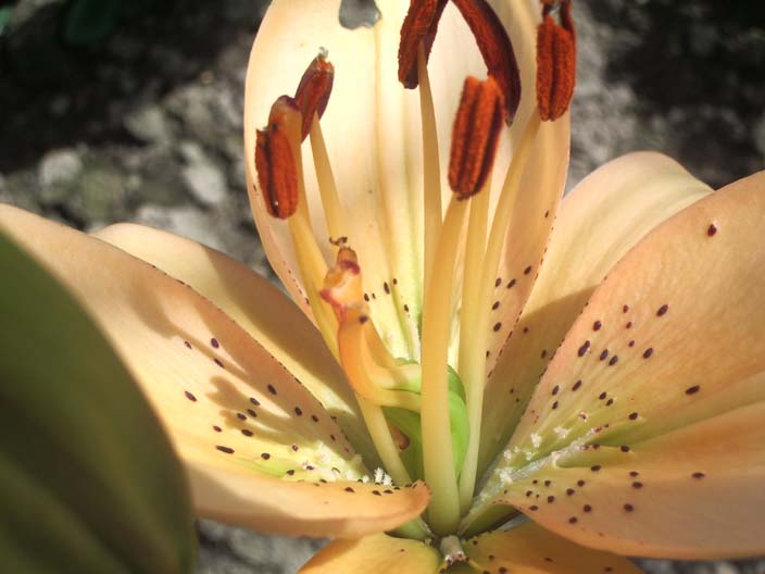 Лилия из группы - Азиатские гибриды