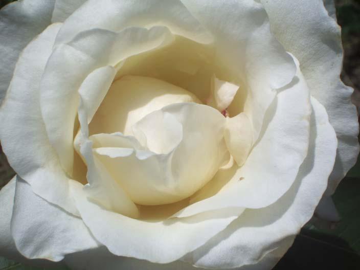Молочные берега розовых лепестков
