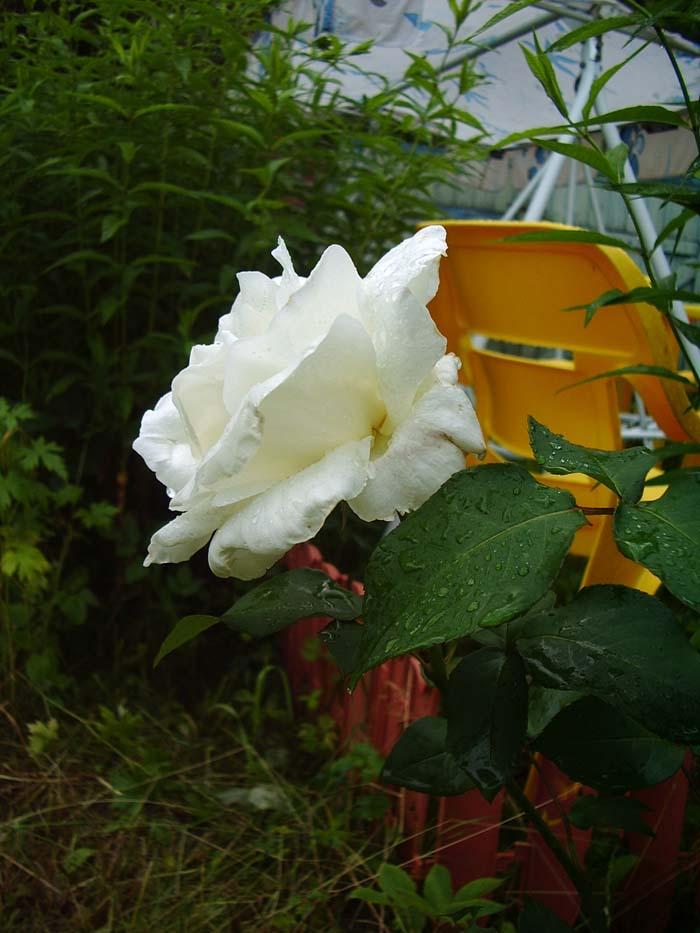 Белые розы, сорт Вирго