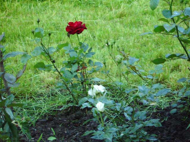 Первые розы в розарии