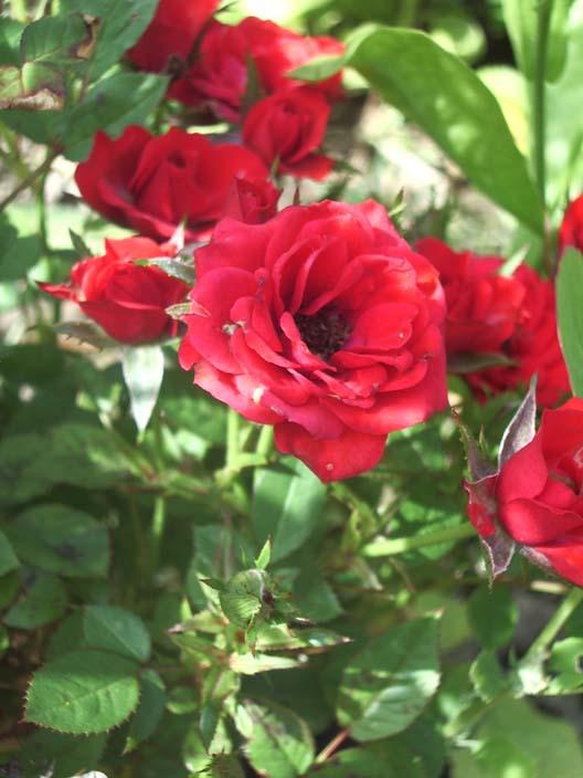 Мини розы цветут всегда супер-обильно