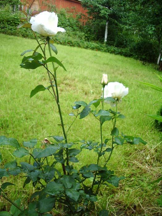Первые розы - сорт Вирго