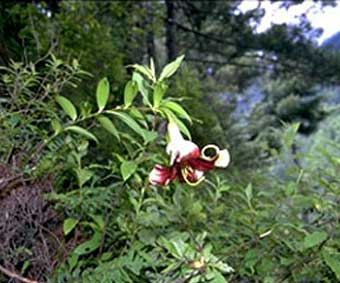 L.nepalense