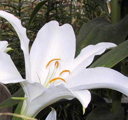 L.nobilissimum