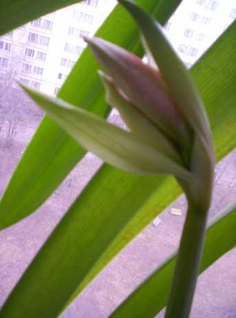 Обертка вскрыта - после зимнего цветения только 2 бутона