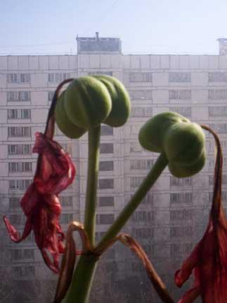 У гиппеаструма зреют семена