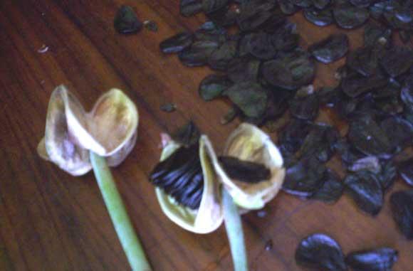 Семена созревают через 1,5 мес после опыления
