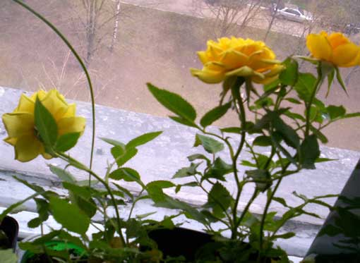 Мини-розы - само очарование!
