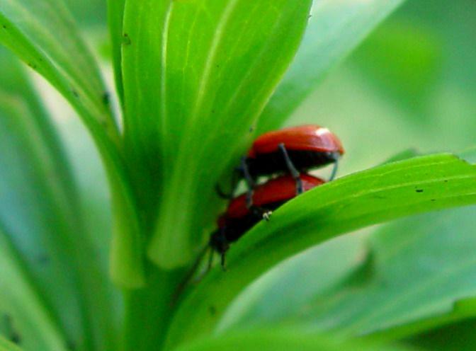 Лилиевый жук Фото:А.В.Отрошко