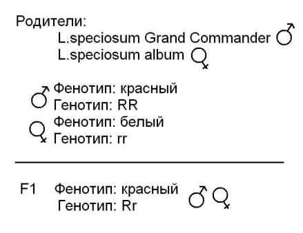 Составим схему скрещивания гибридов F1 по интересующему нас признаку, т.е. посмотрим -какие гибриды...
